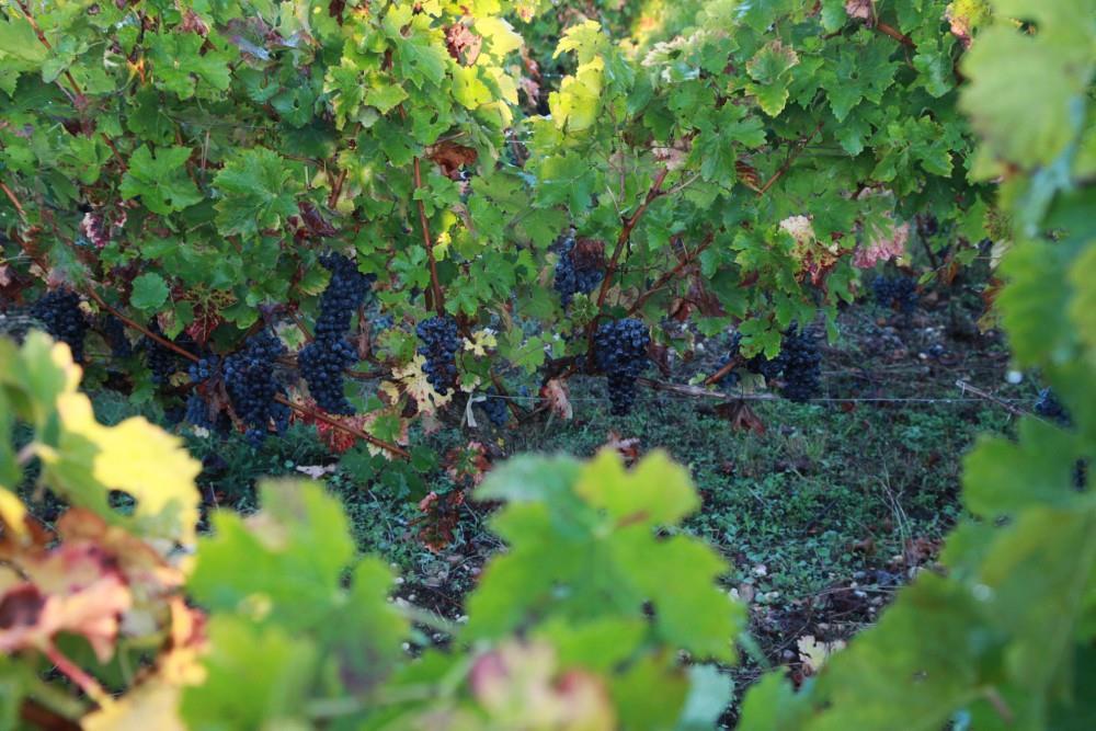 les-vignes-chateau-laujac