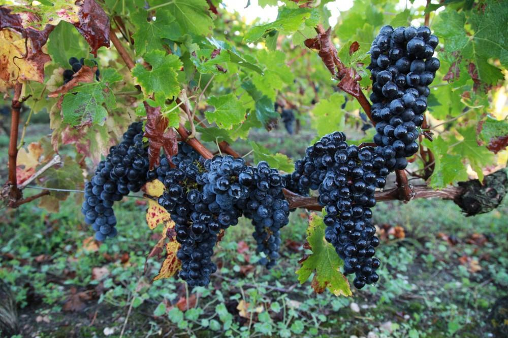 terroir-vignes-chateau-laujac